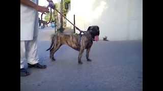 Spanish Bulldog Female.