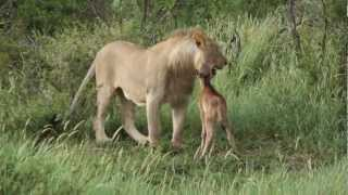 Lion playing with his prey