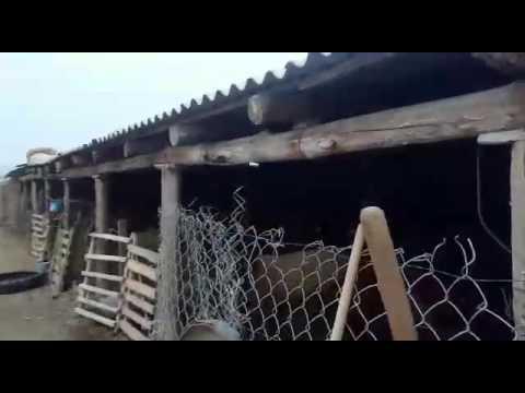 видео: Қазақтың қылшық жүнді қойы (Казахская грубошерстная порода)
