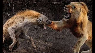 Animal fights - Lions vs hyenas - Lions attack hippo honey badger - Animal attacks