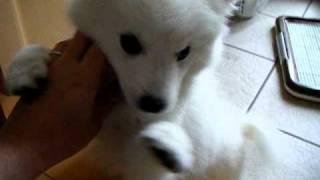 最近飼い始めた。日本スピッツもみじちゃんです。 昔はよく見かけた犬種...