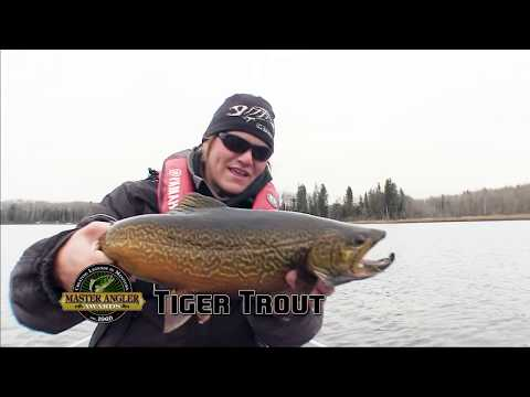 Fly Fishing For Massive Tiger Trout In Manitoba - Manitoba Master Angler Minute