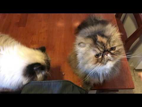 Himalayan and Persian Cat