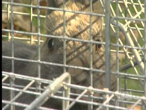 Let the Bunny Trapping Begin -  Injunction Thrown Out -- Rabbit Trapping Underway
