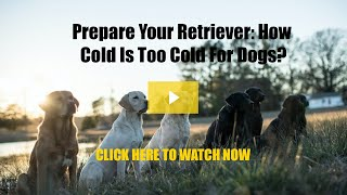 Prepare Your Retriever: How Cold is Too Cold For Dogs?