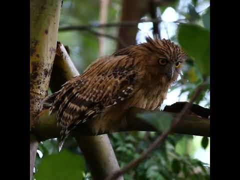 The Buffy Fish Owl Juvenile. Singapore