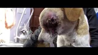 У уличной собаки обнаружили рак, требовалась химиотерапия