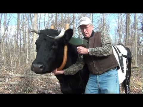 Ox Logging  Fitting and Using a Single Yoke