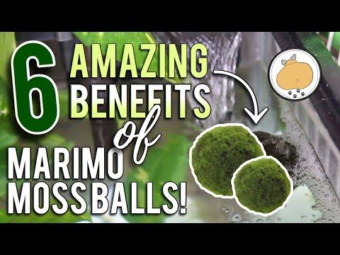 6 Amazing BENEFITS Of MARIMO MOSS BALLS! | Aquarium/Fish How-to 🐟