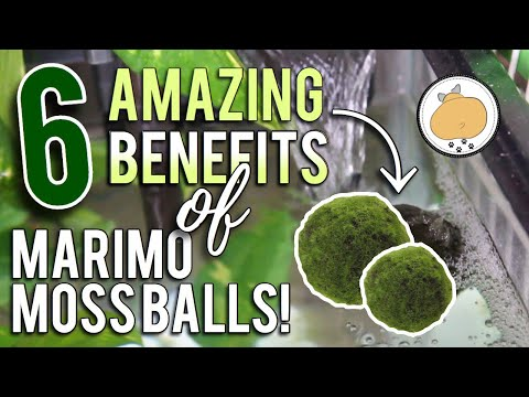 6 Amazing BENEFITS Of MARIMO MOSS BALLS! | Aquarium/Fish How-to 🐟