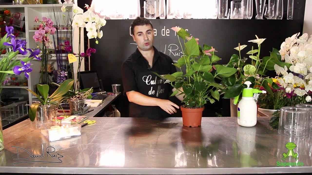 Cuidados de un anturio anthurium youtube for Anturio cuidados