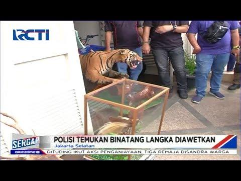 Polisi Temukan Macan yang Diawetkan di Rumah Koboi Jalanan Bermobil Lamborghini - Sergap 27/12
