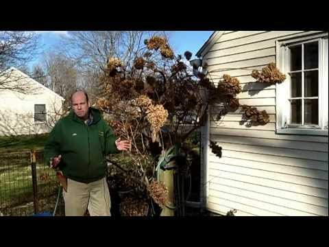 How To Prune Tree Hydrangea 1 Of 3 | Hydrangea Paniculata | Newtown CT Garden Maintenance