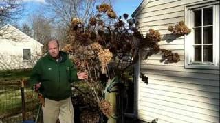 How to Prune Tree Hydrangea 1 of 3 | Hydrangea paniculata | Newtown CT Garden Maintenance