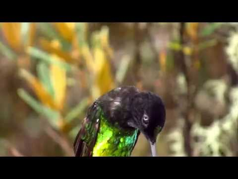 Dusky Starfrontlet,  Coeligena orina, Colibrí del Sol Bird Reserve, Bogota birding tour