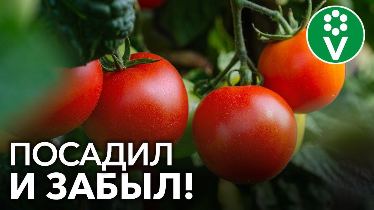 томаты которые не болеют