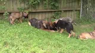Www.k9gsd.com German Shepherd Puppies For Sale In Nj And Pa