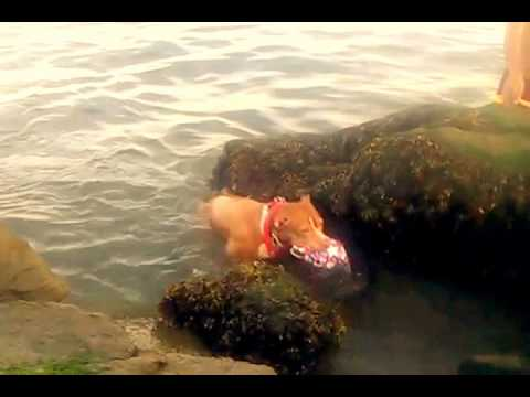 KAN YOU LUV ME? Pitbull Dog HOW TO TEACH YOUR DOG HOW TO SWIM. MY PIT IS AN AMAZING!