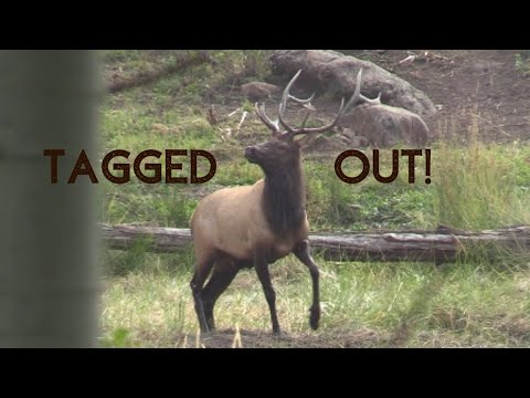 Colorado Muzzleloader Elk Hunt Public Land, 2019, Screaming Bull Pushes Cow Right To Us!