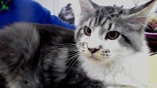 🐱 Ну ОЧЕНЬ Милый Котенок Мейн Кун ❤️️ Красивый Котик на Выставке Кошек | ПОРОДЫ КОШЕК