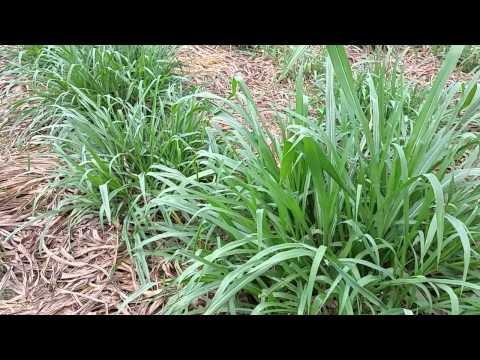 napier grass or super napier
