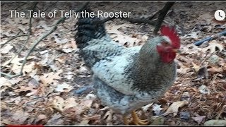 The Tale of Telly the Rooster