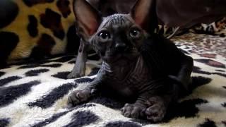 Moon Kiss - Канадский сфинкс  Canadian Sphynx - котята kittens - помет W litter W