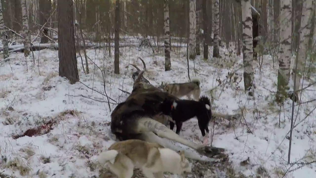Охота на лося с лайками