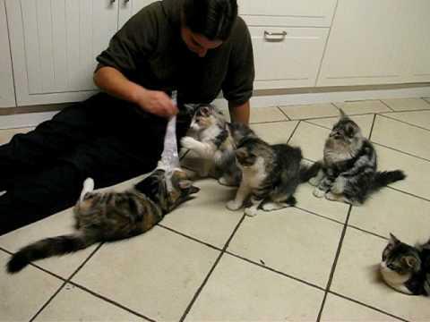 Norwegian Forest Cat - kittens 18 weeks#2
