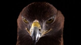 Golden Eagle in slow motion - Slo Mo #9 - Earth Unplugged