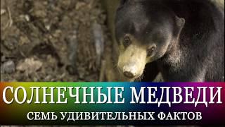 Малайские солнечные медведи: дикая милота! 7 фактов и советы по организации путешествия
