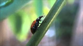 What lady bugs really sound like