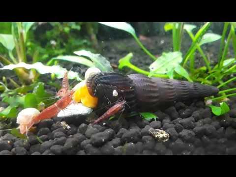 Rabbit snail, Sulawesi snail, Gold rabbit snail