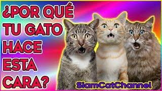 Por Qué Los Gatos Abren La Boca Cuando Huelen Algo Siamcatchannel Youtube