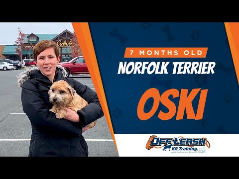 Norfolk Terrier, 7 months, Oski | Norfolk Terrier Dog Training) | Off Leash K9
