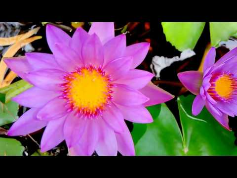 Lily , National flower of Bangladesh, Shapla, water lily