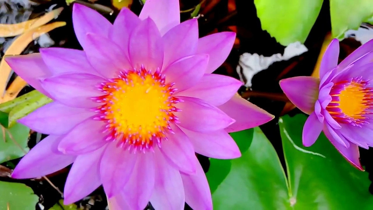 Water lily flower lily national flower of bangladesh shapla water lily flower lily national flower of bangladesh shapla water lily lily flower izmirmasajfo