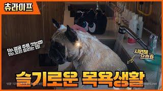강아지 목욕 시키기 - 단모종 프렌치불독  ( 목욕용품…