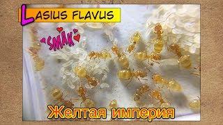 Желтая империя Лазиус флавус ● Lasius flavus