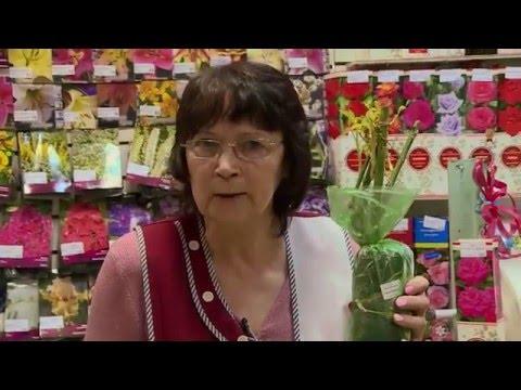 Что делать с розами и другими саженцами после покупки их в магазине