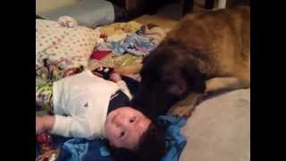 my son his name is JAY 2011.12.12 my 4 dogs (Leonberger=BILLIE,Jac...
