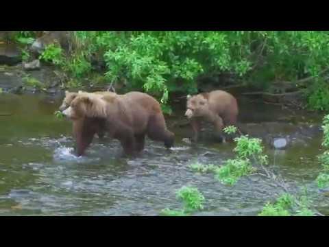 Wild animal - Bear video