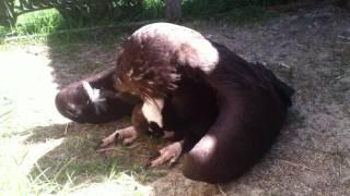 На «Земле леопарда» спасли черного грифа – самую большую птицу России \ Saved Cinereous vulture