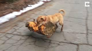 「見て見て、このでっかいヤツ運んできたよ、すごいでしょ?」木の枝の代わりに木の幹を運んできた犬