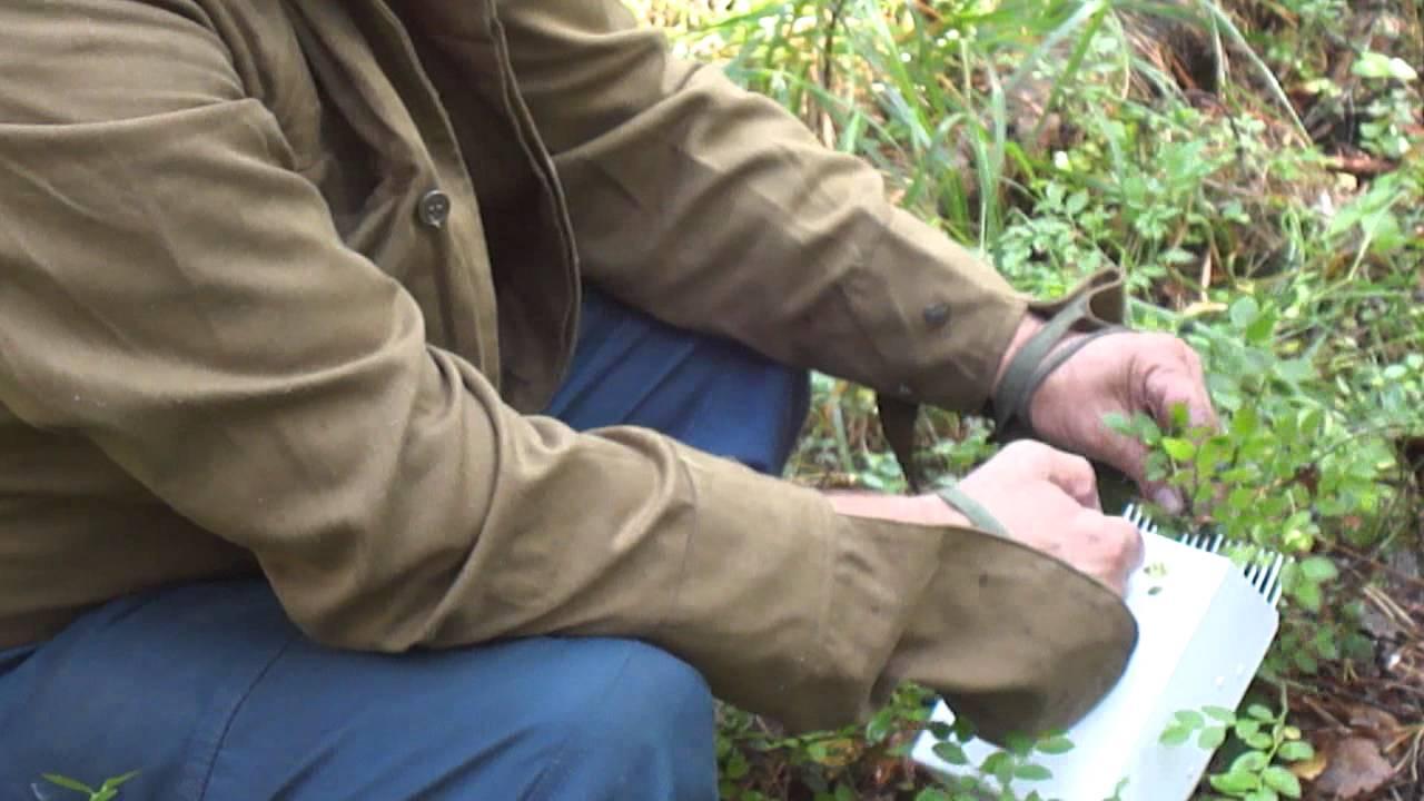 Сбор и продажа брусники клюквы черники