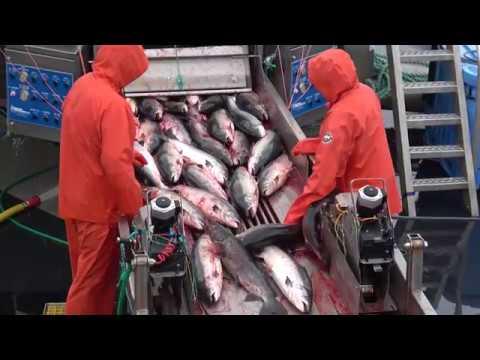 Salmon Farming Is Factory Farming