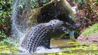 SALTWATER CROCODILE - hunts tigers, kills sharks and eats whales! Crocodile vs boar and kangaroo!