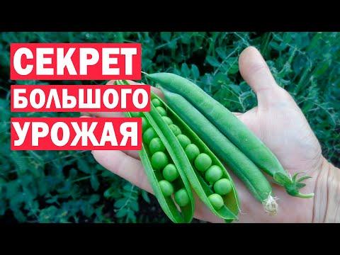 Секреты получения большого урожая гороха! Тонкости посева