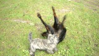 Cairn Terrier Und Gordon-setter  Spielen Kampfhund