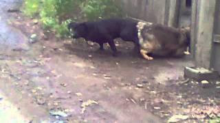 Слипшиеся Собаки!!(собаки не могли расцепиться!:), 2013-03-09T14:10:08.000Z)